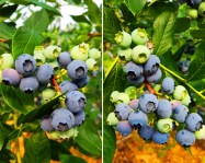 2016 blueberry photo